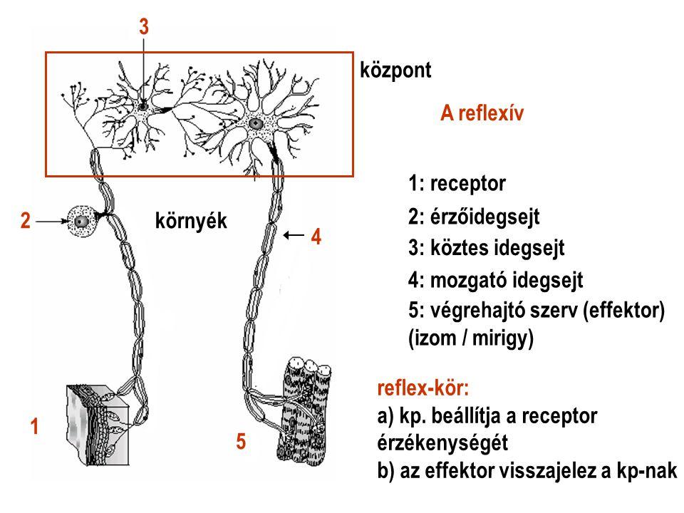 3 központ. A reflexív. 1: receptor. 2. környék. 2: érzőidegsejt. 4. 3: köztes idegsejt. 4: mozgató idegsejt.