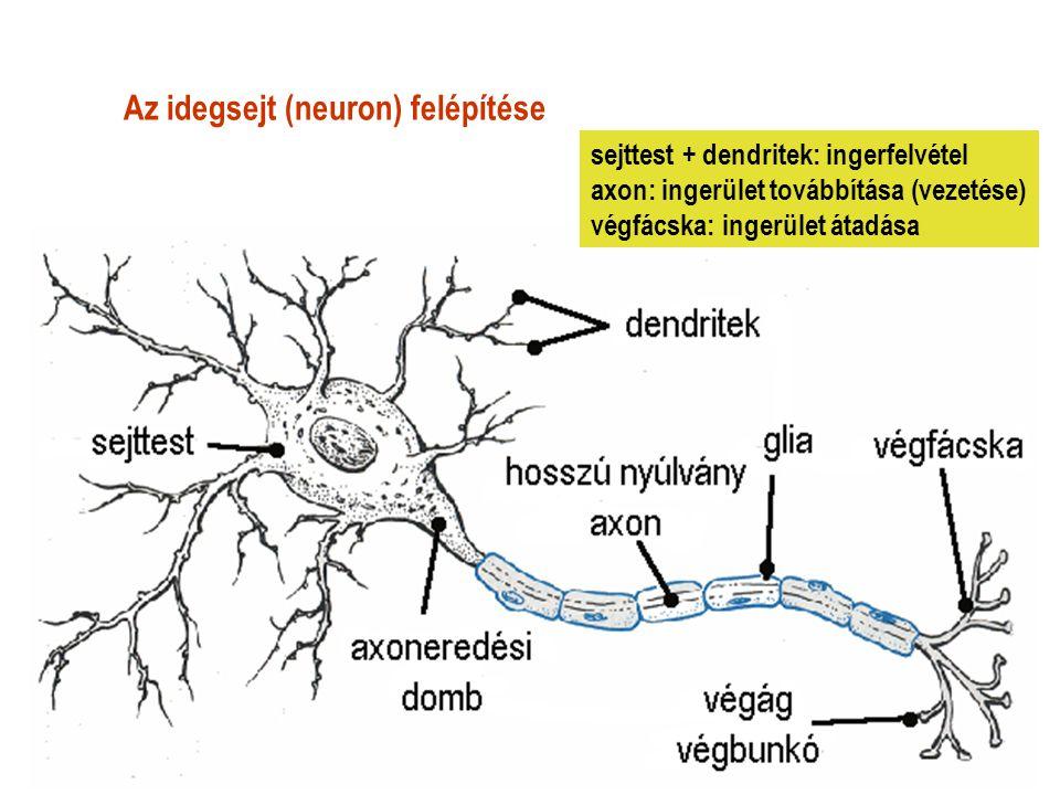 Az idegsejt (neuron) felépítése