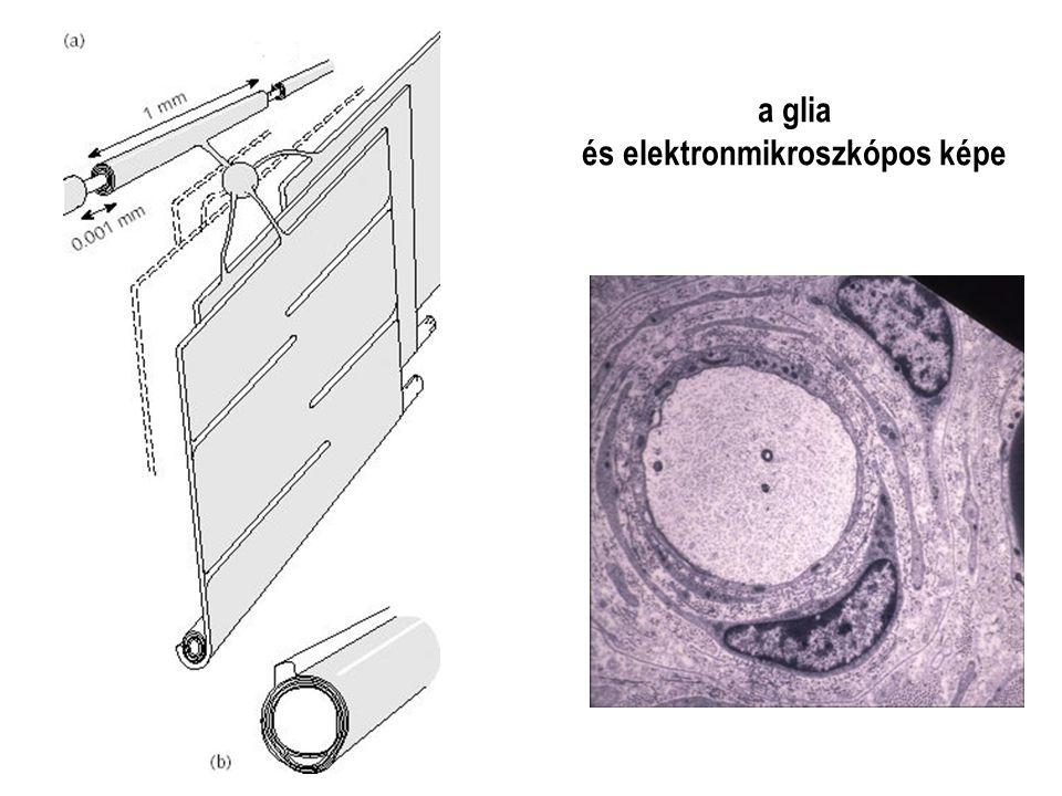 és elektronmikroszkópos képe