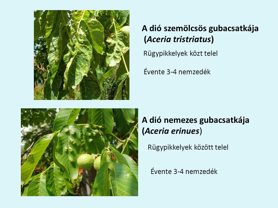 A dió szemölcsös gubacsatkája (Aceria tristriatus)