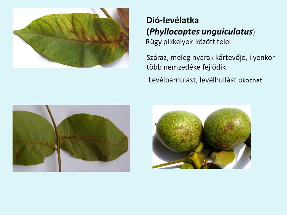 (Phyllocoptes unguiculatus)