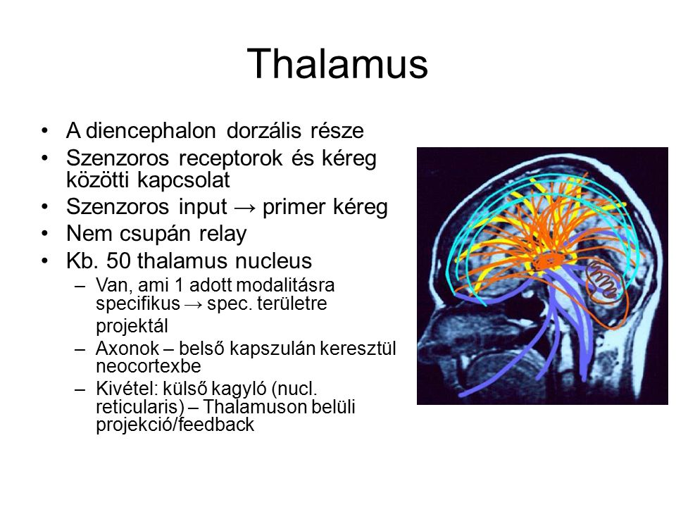 Thalamus A diencephalon dorzális része