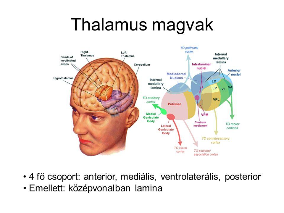 Thalamus magvak 4 fő csoport: anterior, mediális, ventrolaterális, posterior.