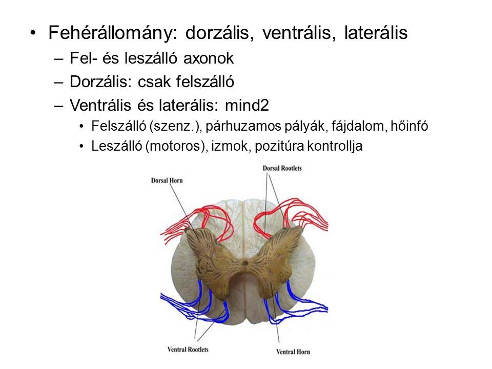 Fehérállomány: dorzális, ventrális, laterális