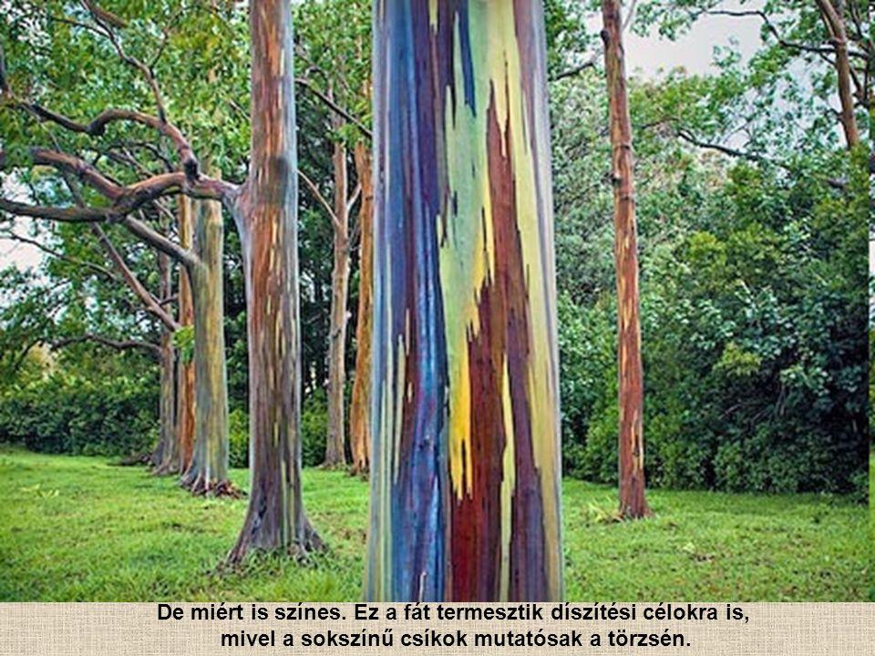 De miért is színes. Ez a fát termesztik díszítési célokra is,