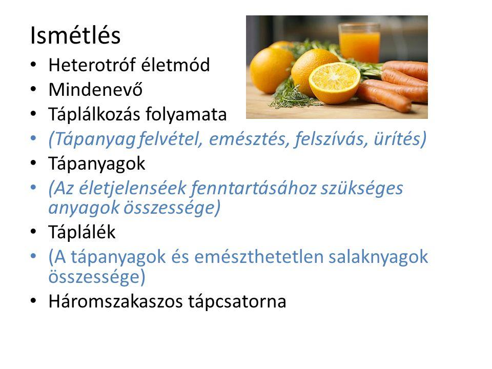 Ismétlés Heterotróf életmód Mindenevő Táplálkozás folyamata