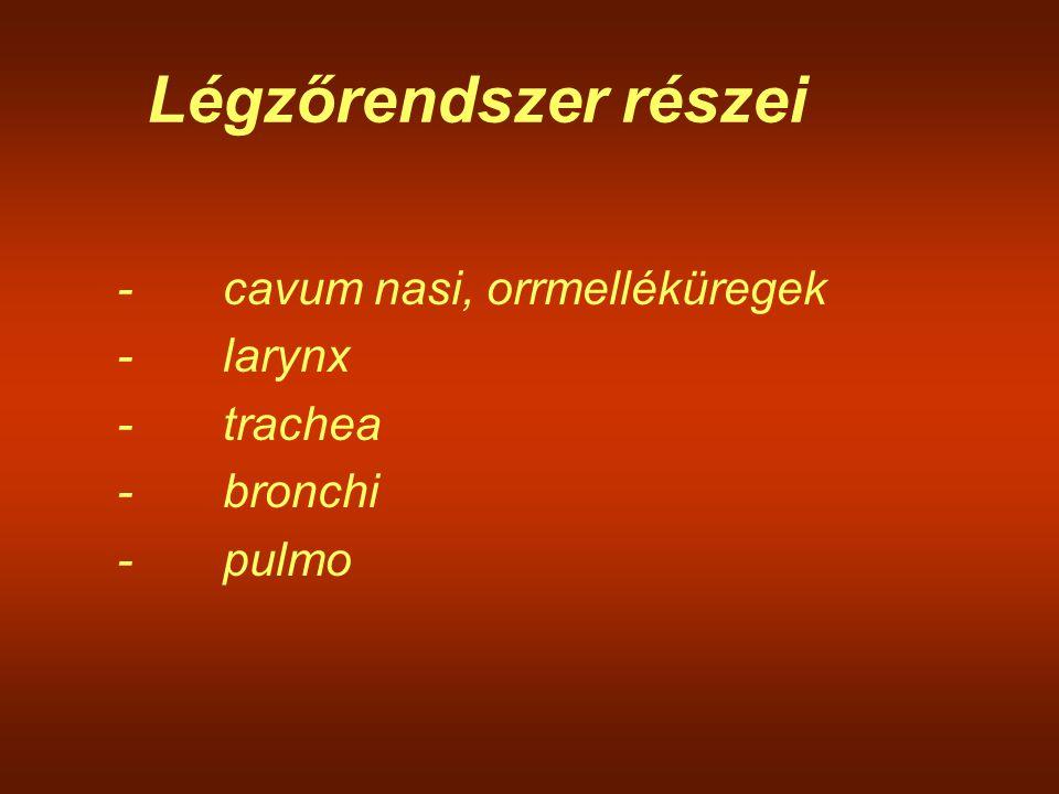 Légzőrendszer részei - cavum nasi, orrmelléküregek - larynx - trachea