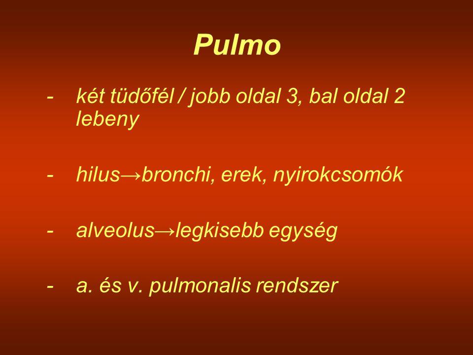 Pulmo - két tüdőfél / jobb oldal 3, bal oldal 2 lebeny