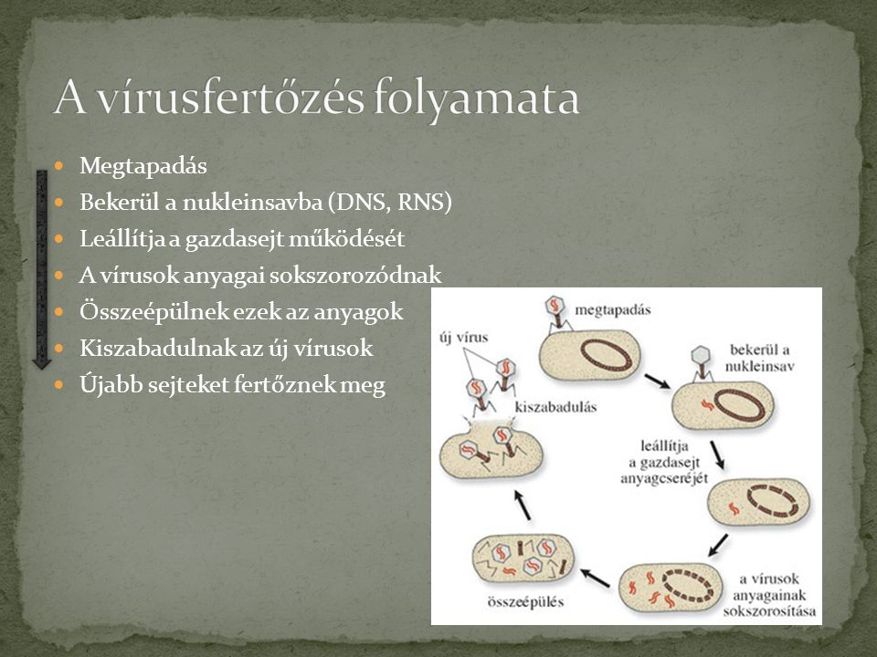 A vírusfertőzés folyamata