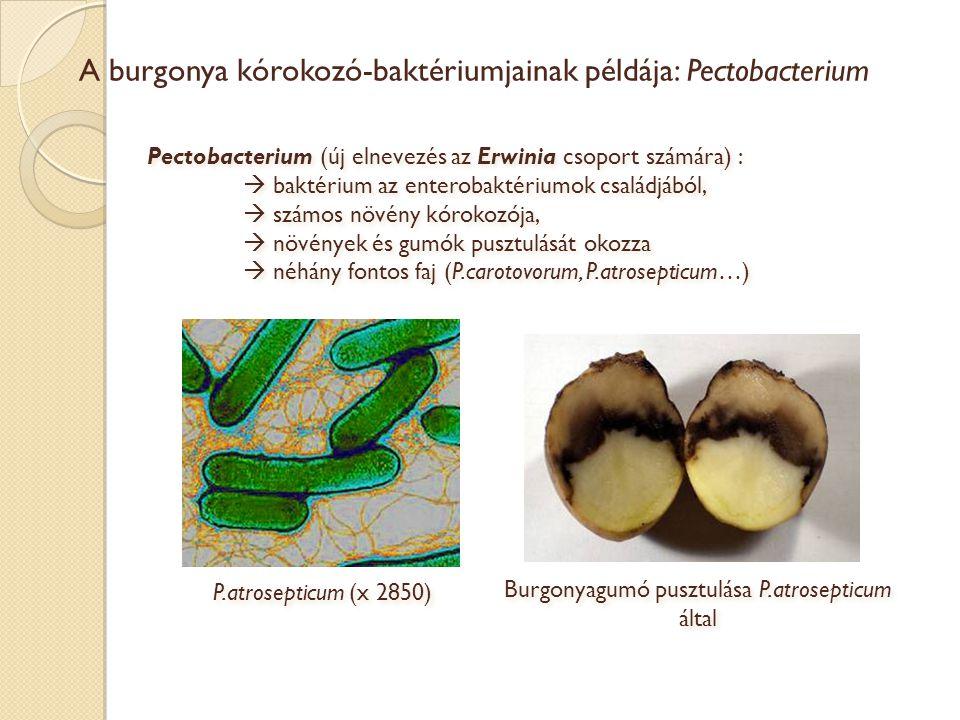 A burgonya kórokozó-baktériumjainak példája: Pectobacterium