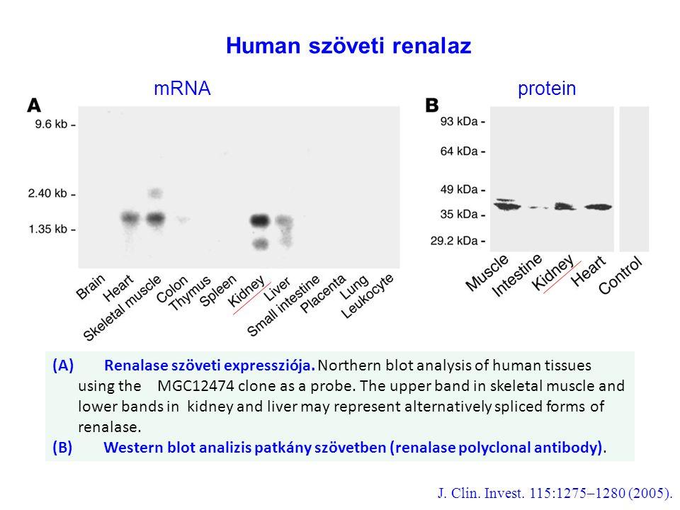 Human szöveti renalaz mRNA protein