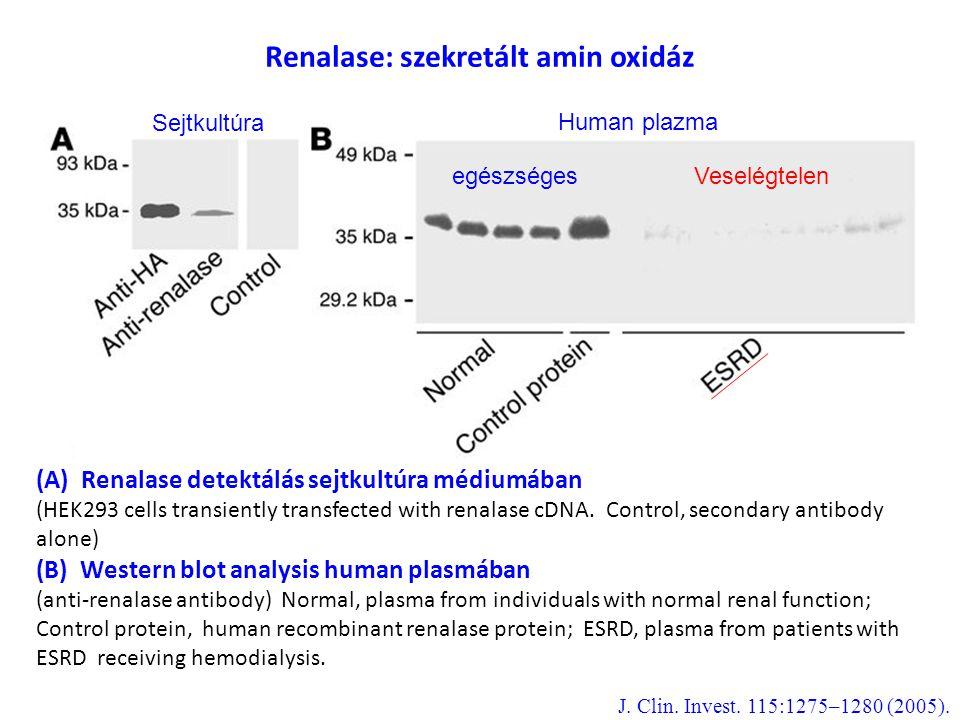 Renalase: szekretált amin oxidáz