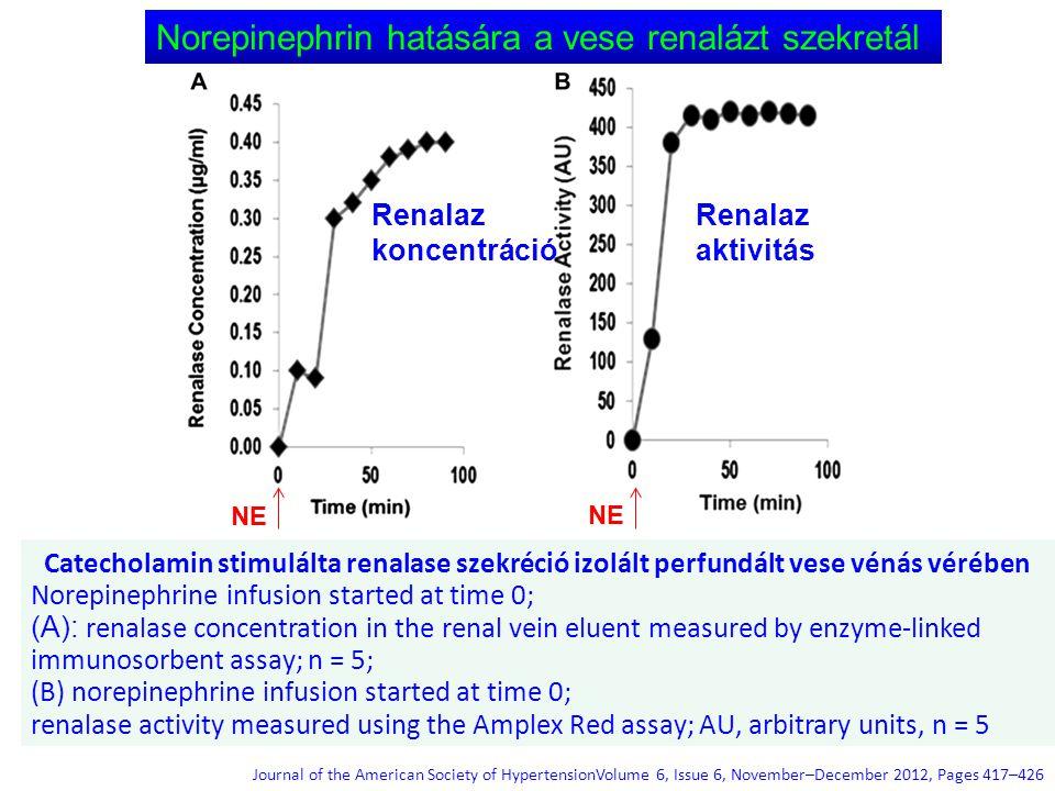 Norepinephrin hatására a vese renalázt szekretál