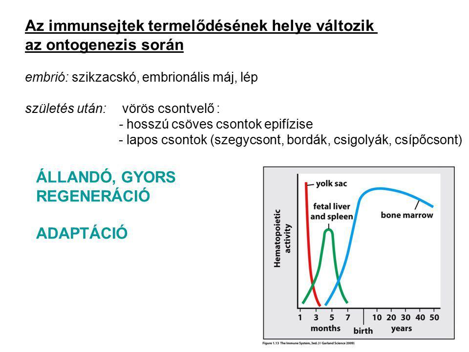 Az immunsejtek termelődésének helye változik az ontogenezis során