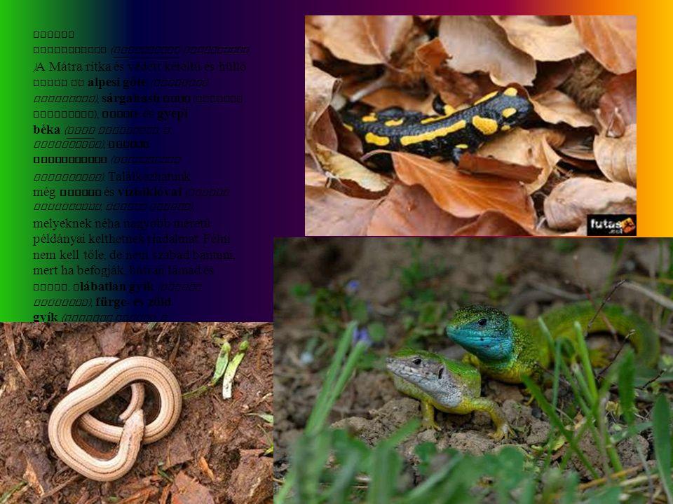 Foltos szalamandra (Salamandra salamandra)A Mátra ritka és védett kétéltű és hüllő fajai az alpesi gőte (Triturus alpestris), sárgahasú unka (Bombina variegata), erdei- és gyepi béka (Rana dalmatina, R.