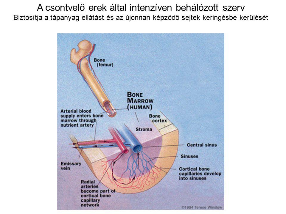 A csontvelő erek által intenzíven behálózott szerv