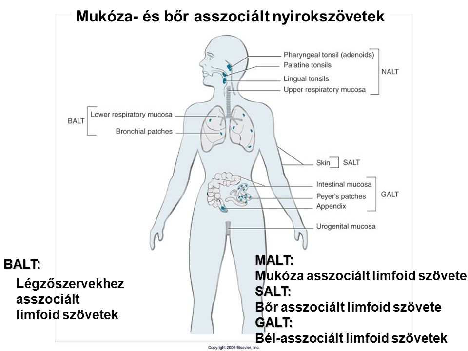 Mukóza- és bőr asszociált nyirokszövetek