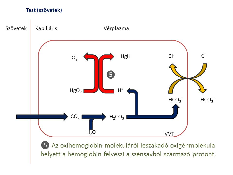 Test (szövetek) Szövetek. Kapilláris. Vérplazma. O2. HgH. Cl- Cl- ❺. HgO2. H+ HCO3- HCO3-