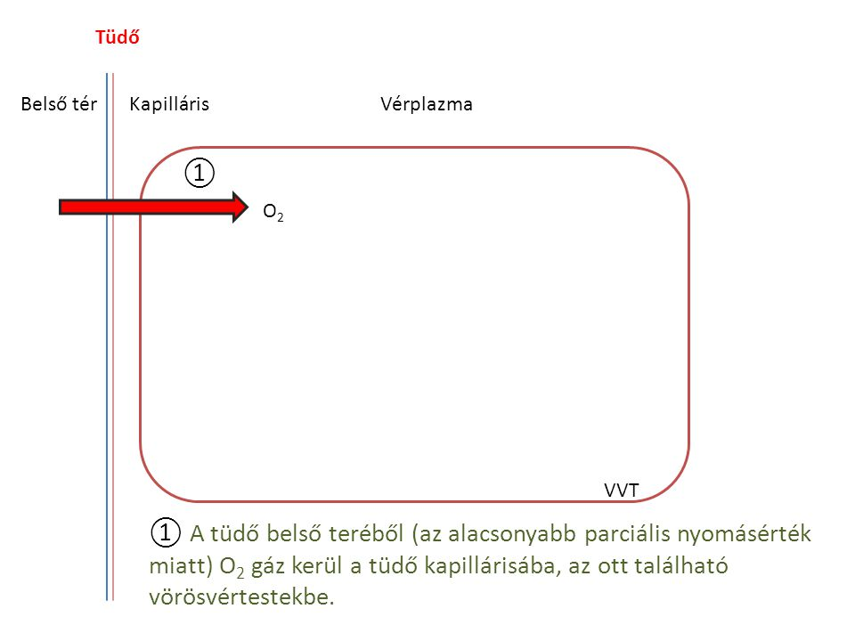 Tüdő Belső tér. Kapilláris. Vérplazma. ①. O2. VVT.