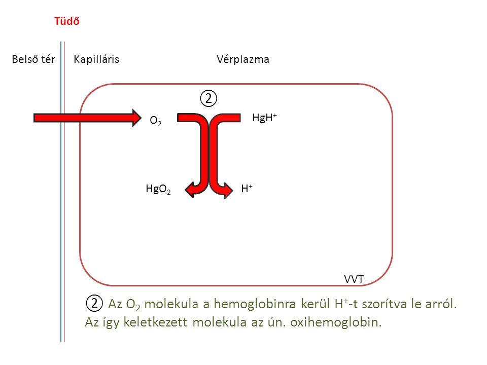Tüdő Belső tér. Kapilláris. Vérplazma. ②. O2. HgH+ HgO2. H+ VVT.