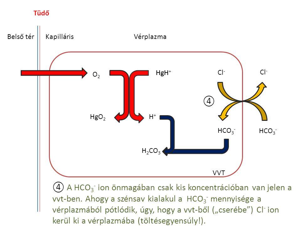 Tüdő Belső tér. Kapilláris. Vérplazma. HgH. HgH+ Cl- Cl- O2. ④. HgO2. H+ HCO3- HCO3- H2CO3.
