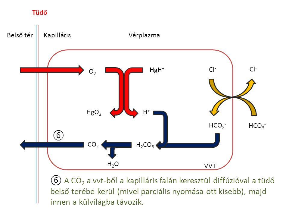 Tüdő Belső tér. Kapilláris. Vérplazma. Cl- Cl- O2. HgH. HgH+ HgO2. H+ HCO3- HCO3- ⑥. CO2.