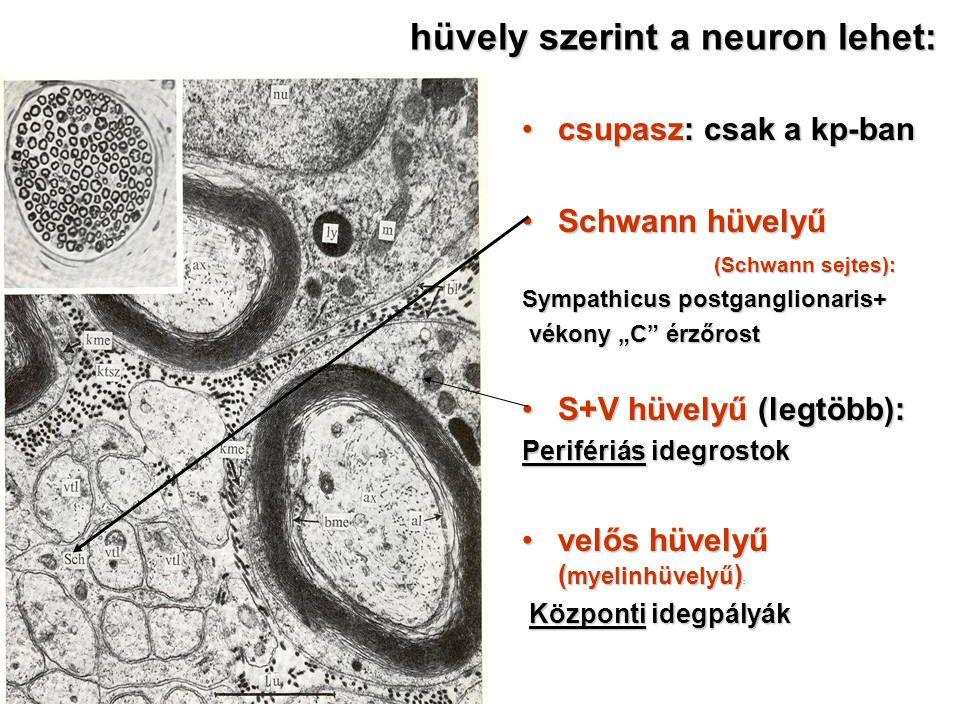 hüvely szerint a neuron lehet: