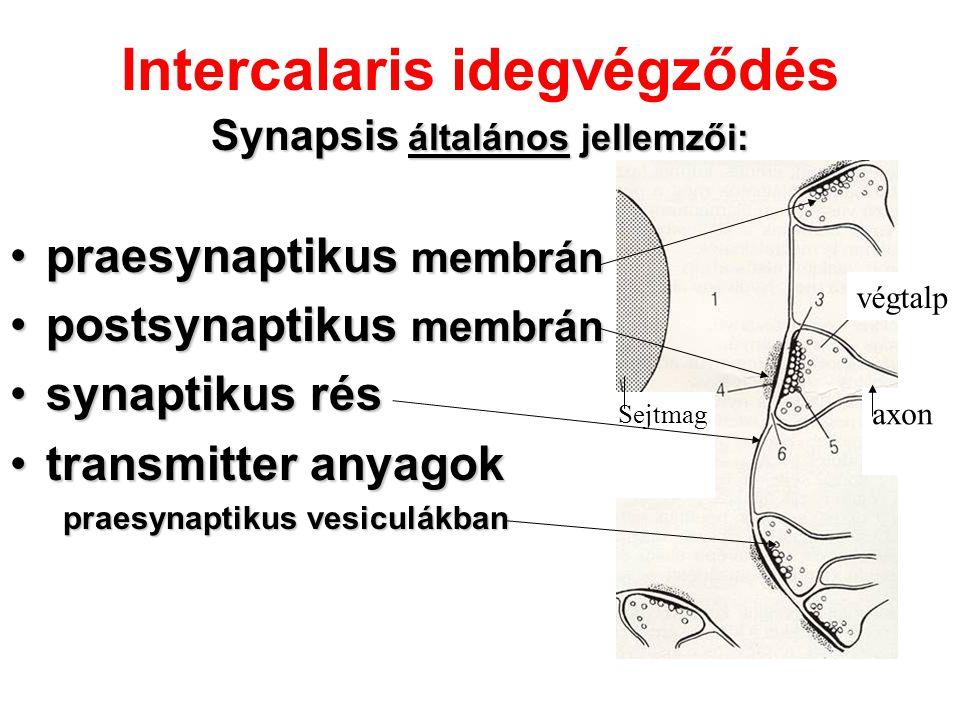 Intercalaris idegvégződés