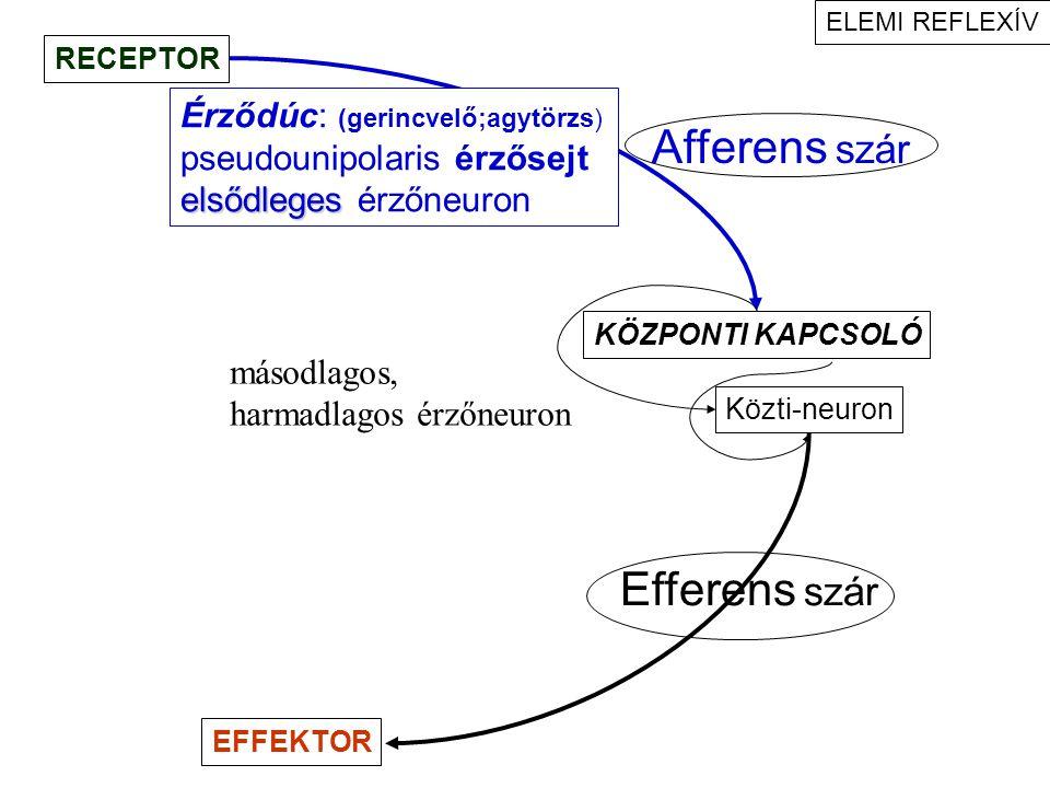 Afferens szár Efferens szár Érződúc: (gerincvelő;agytörzs)