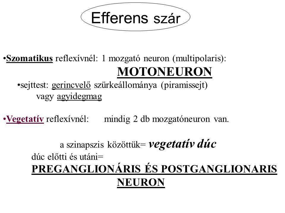 Efferens szár MOTONEURON NEURON