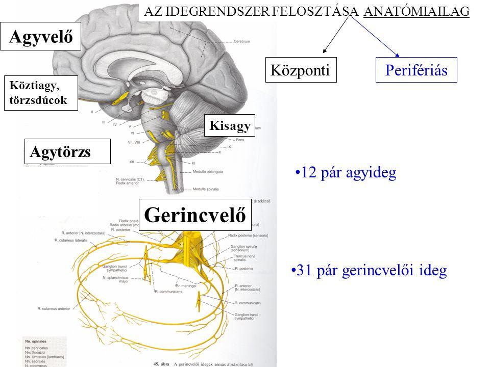 k Gerincvelő Agyvelő Központi Perifériás Agytörzs 12 pár agyideg