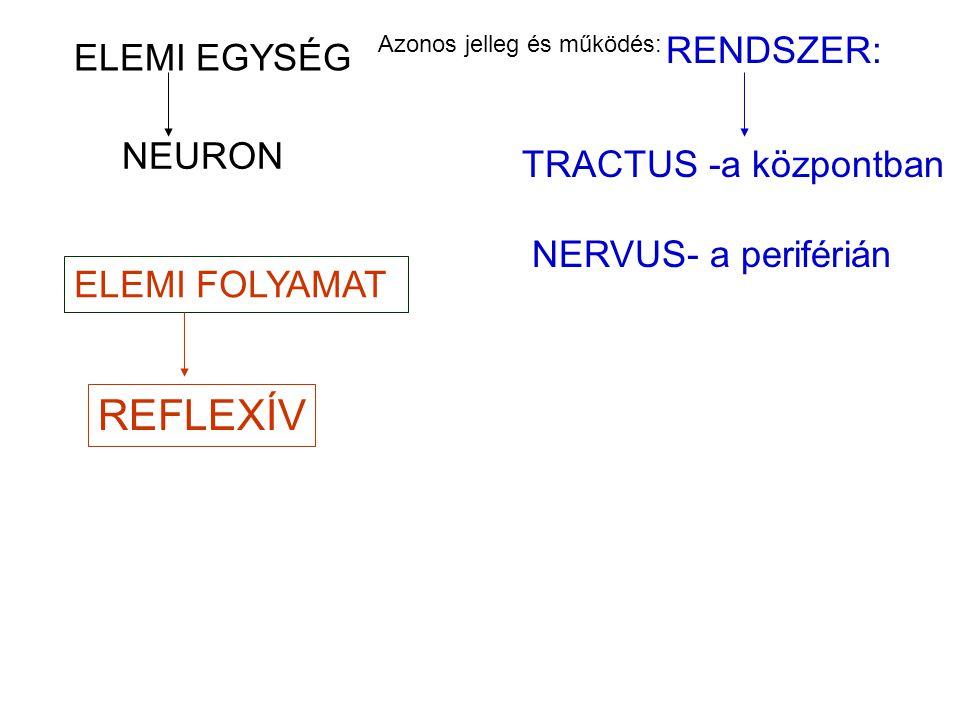 REFLEXÍV RENDSZER: ELEMI EGYSÉG NEURON TRACTUS -a központban