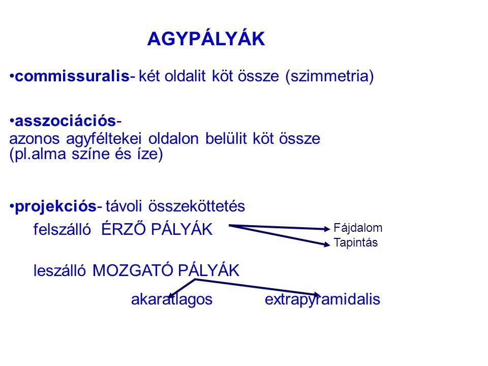 AGYPÁLYÁK commissuralis- két oldalit köt össze (szimmetria)