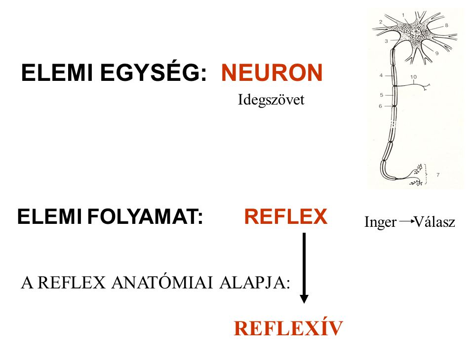 ELEMI EGYSÉG: NEURON ELEMI FOLYAMAT: REFLEX A REFLEX ANATÓMIAI ALAPJA: