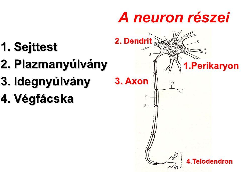 A neuron részei 1. Sejttest 2. Plazmanyúlvány 3. Idegnyúlvány