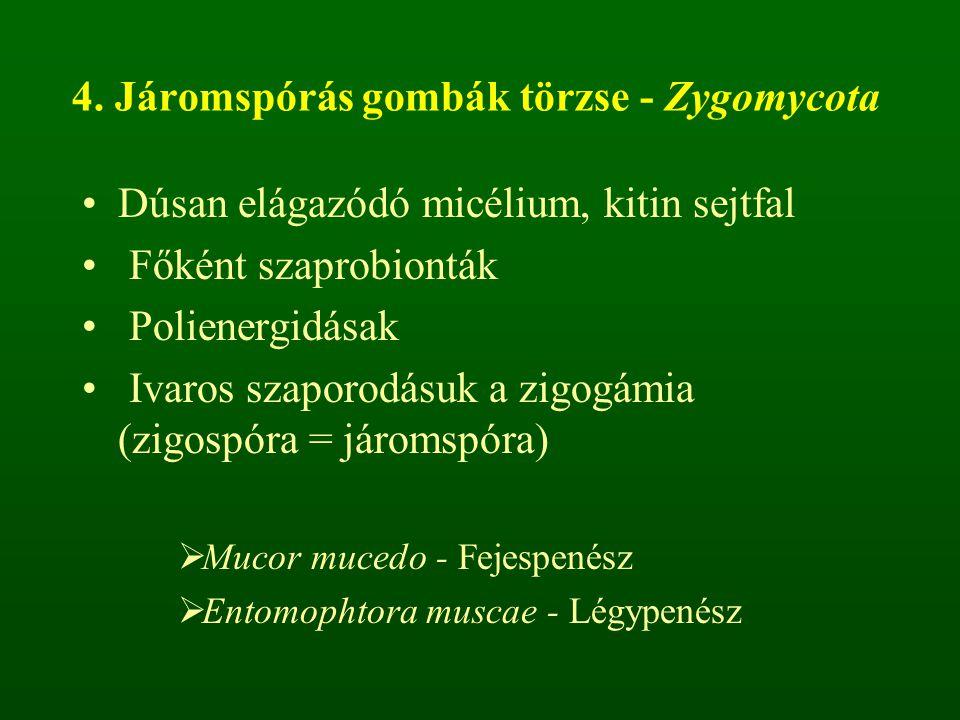 4. Járomspórás gombák törzse - Zygomycota