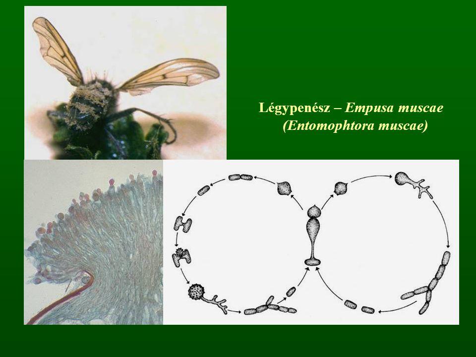 Légypenész – Empusa muscae (Entomophtora muscae)