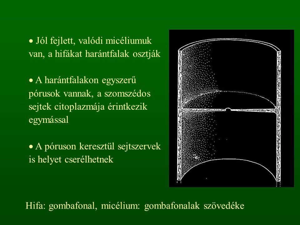Jól fejlett, valódi micéliumuk van, a hifákat harántfalak osztják