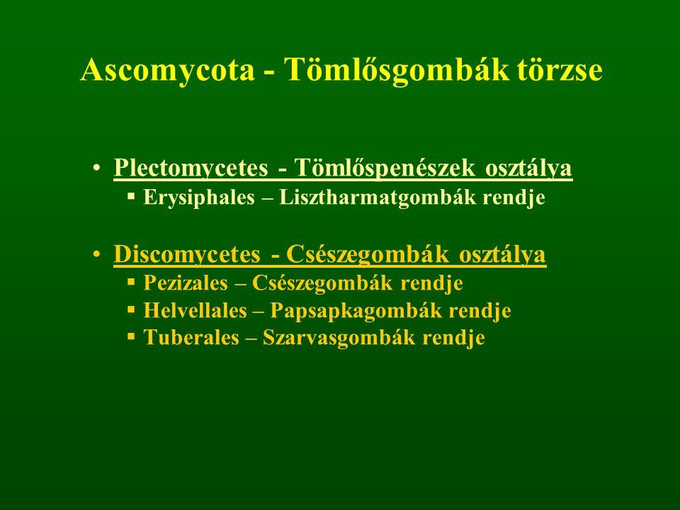Ascomycota - Tömlősgombák törzse