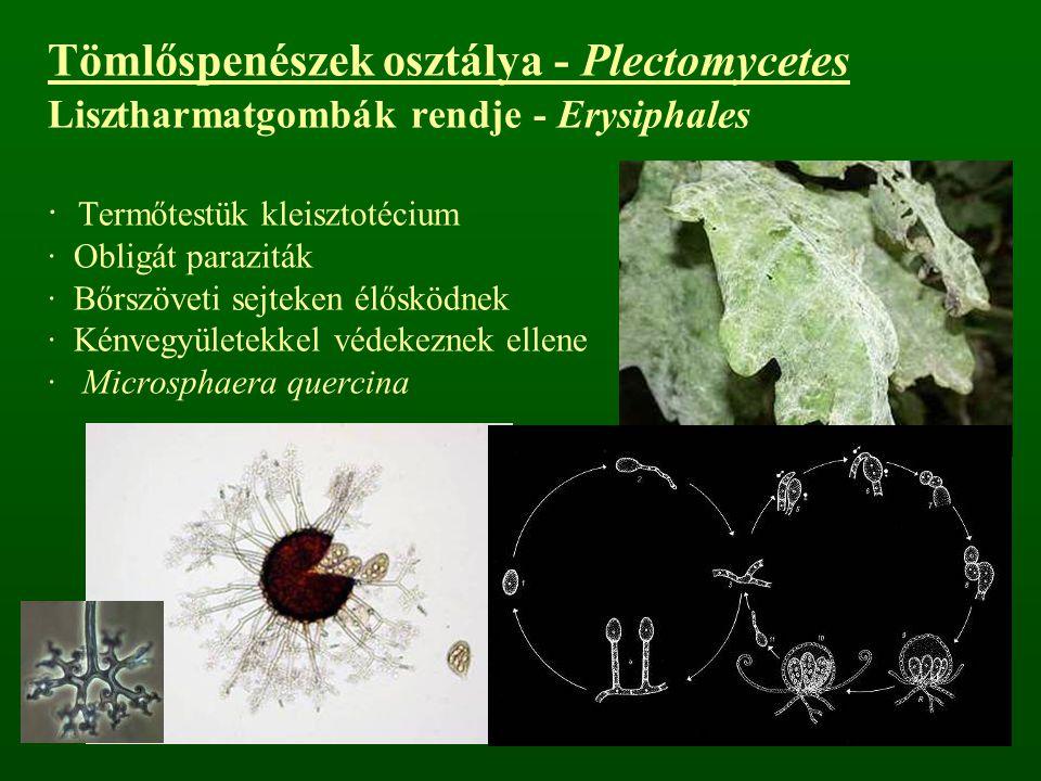 Tömlőspenészek osztálya - Plectomycetes Lisztharmatgombák rendje - Erysiphales · Termőtestük kleisztotécium · Obligát paraziták · Bőrszöveti sejteken élősködnek · Kénvegyületekkel védekeznek ellene · Microsphaera quercina