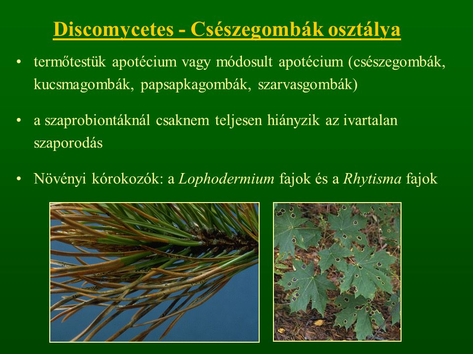 Discomycetes - Csészegombák osztálya