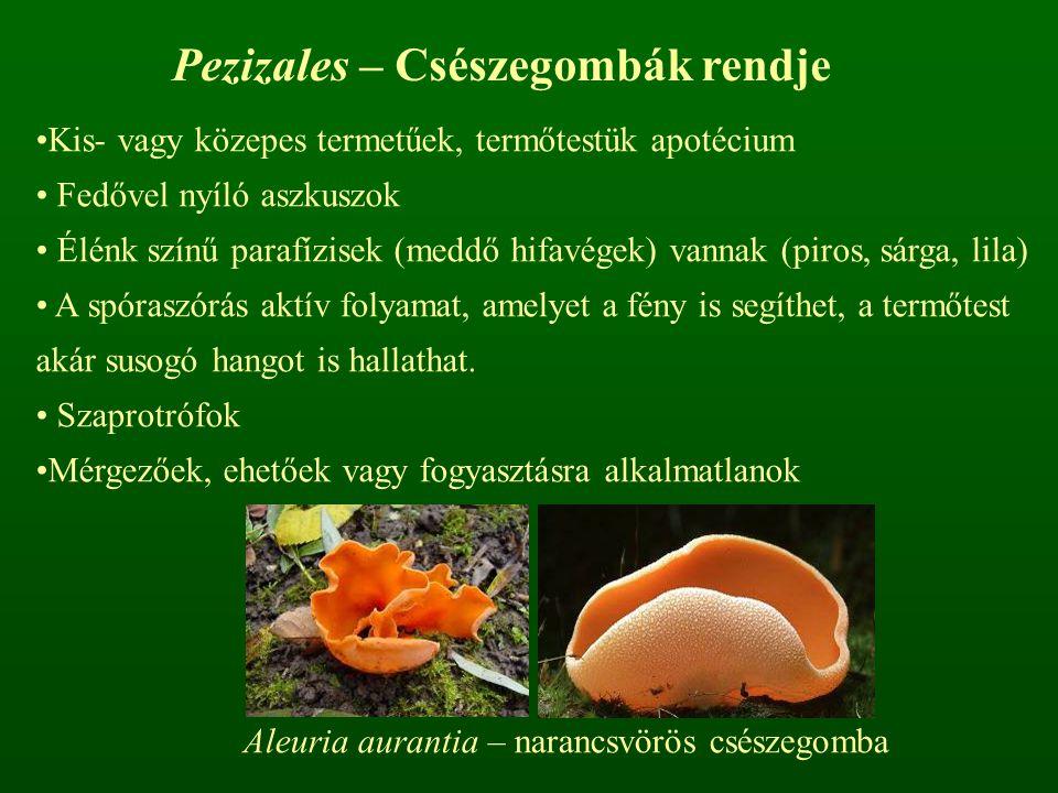 Pezizales – Csészegombák rendje