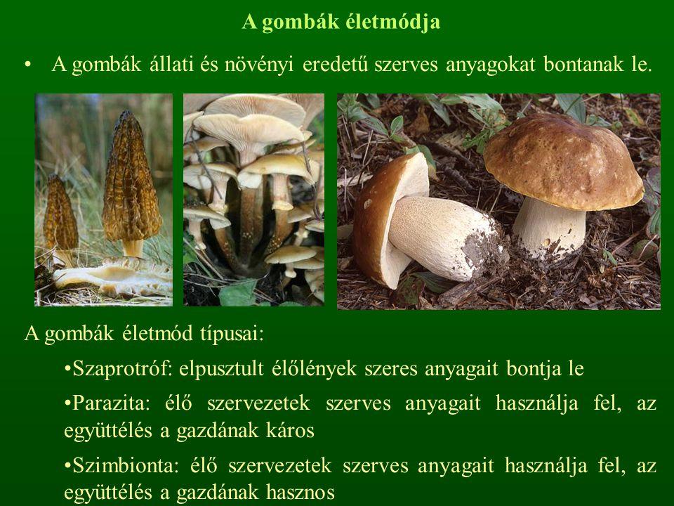 A gombák életmódja A gombák állati és növényi eredetű szerves anyagokat bontanak le. A gombák életmód típusai: