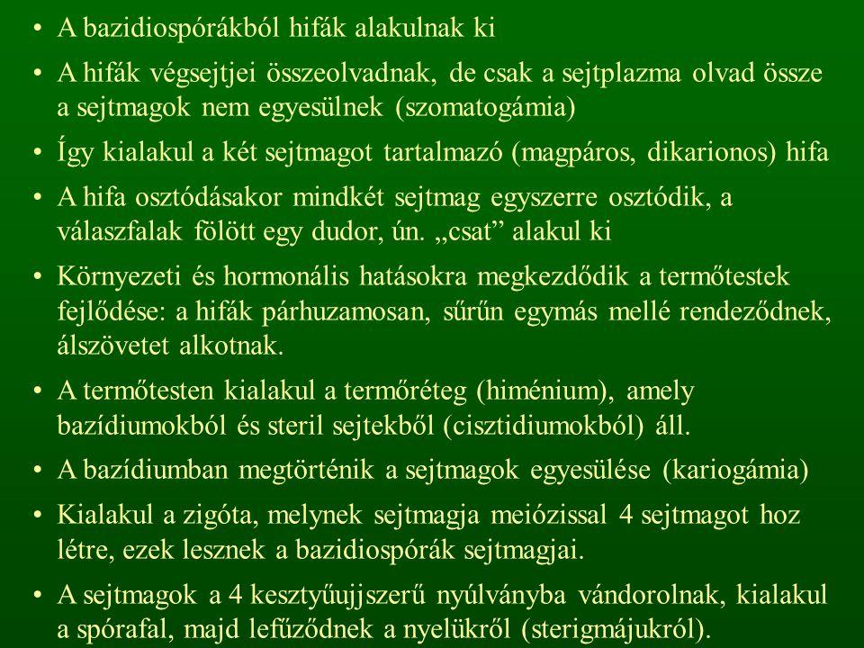 A bazidiospórákból hifák alakulnak ki