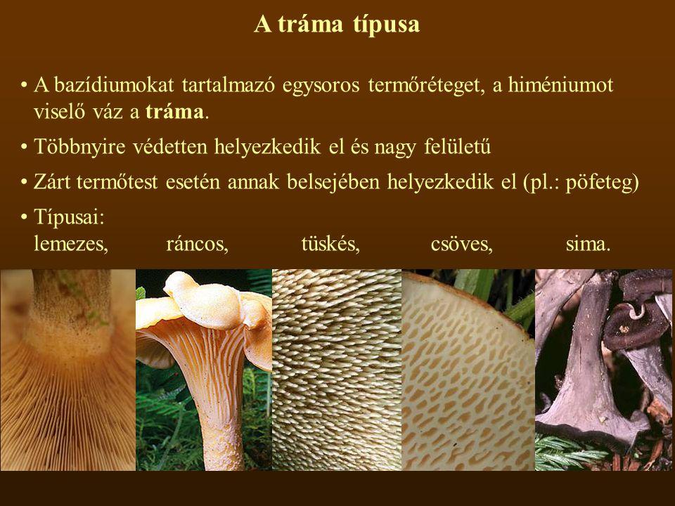 A tráma típusa A bazídiumokat tartalmazó egysoros termőréteget, a himéniumot viselő váz a tráma. Többnyire védetten helyezkedik el és nagy felületű.