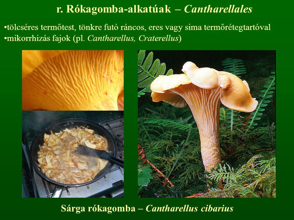 r. Rókagomba-alkatúak – Cantharellales