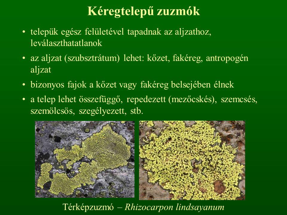Térképzuzmó – Rhizocarpon lindsayanum