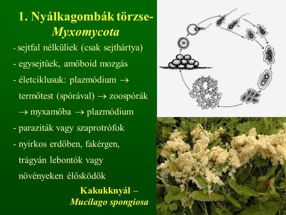 1. Nyálkagombák törzse- Myxomycota