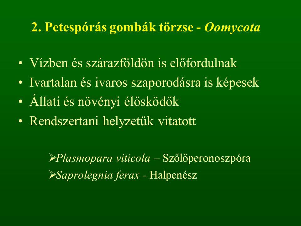2. Petespórás gombák törzse - Oomycota