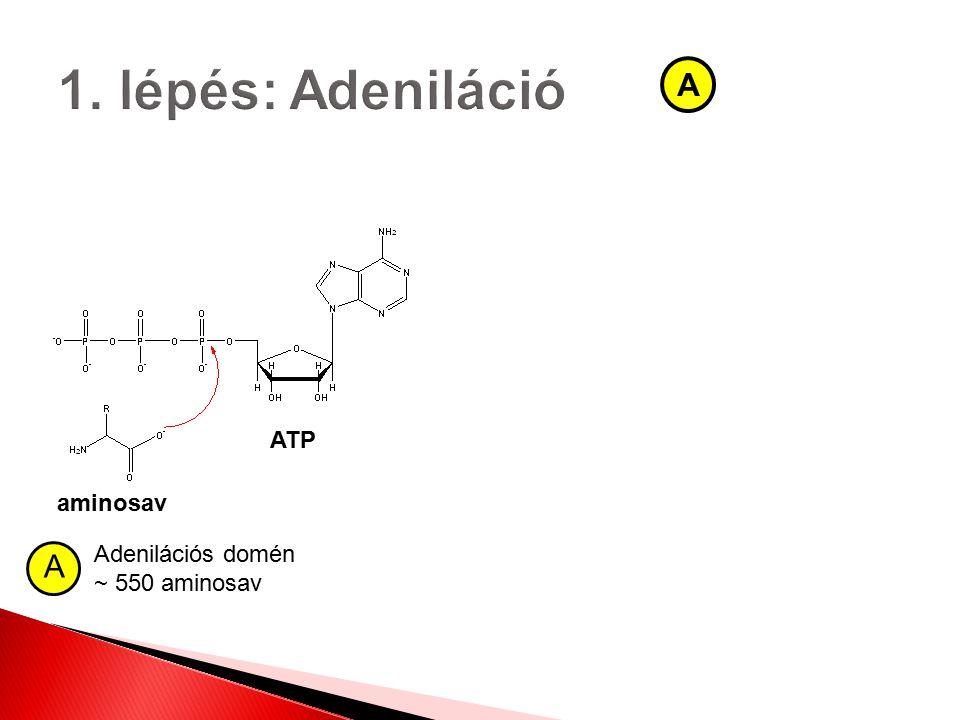1. lépés: Adeniláció A ATP aminosav Adenilációs domén ~ 550 aminosav A